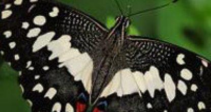 Парусник Демолей — Papilio demoleus