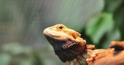 В Парке поселился Бородатый дракон!