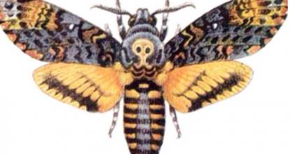 Бабочка Мертвая Голова теперь живет в нашем парке