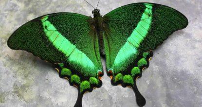 Парусник Палинур — Papilio palinurus