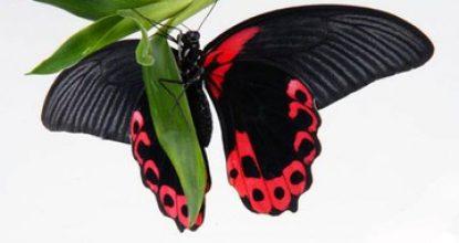 Парусник Румянцева — Papilio rumanzovia