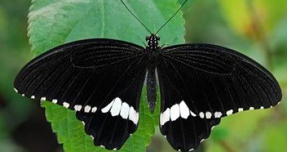 Парусник Полит — Papilio polytes