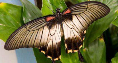 Парусник Ловии — Papilio Lowii