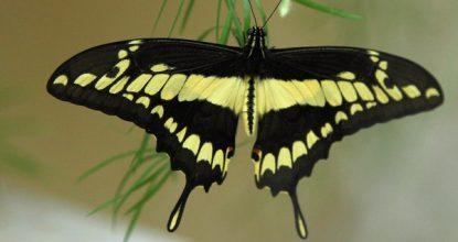 Парусник Тоас — Papilio Thoas