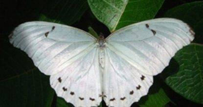 Белый Морфо