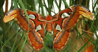 Павлиноглазка атлас — Attacus Atlas