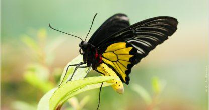 Золотая Птицекрылка — Troides rhadamanthus