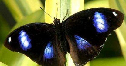 Лунная бабочка – Hipolimnas Bolina